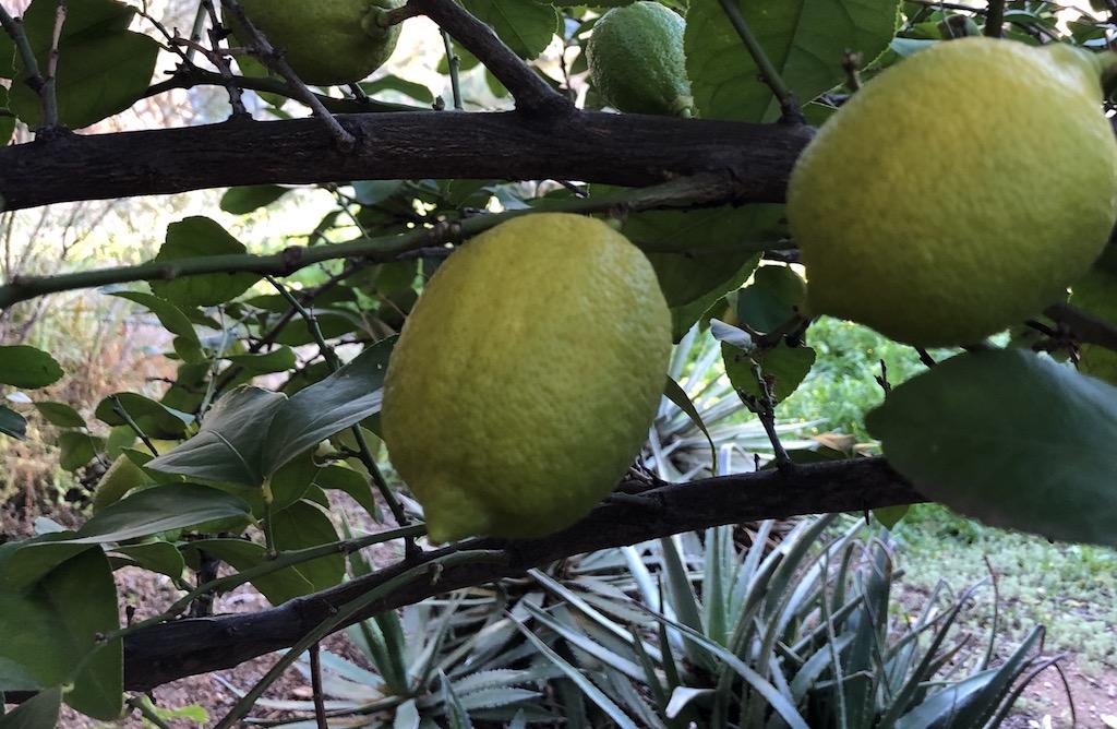 lemons lemon tree