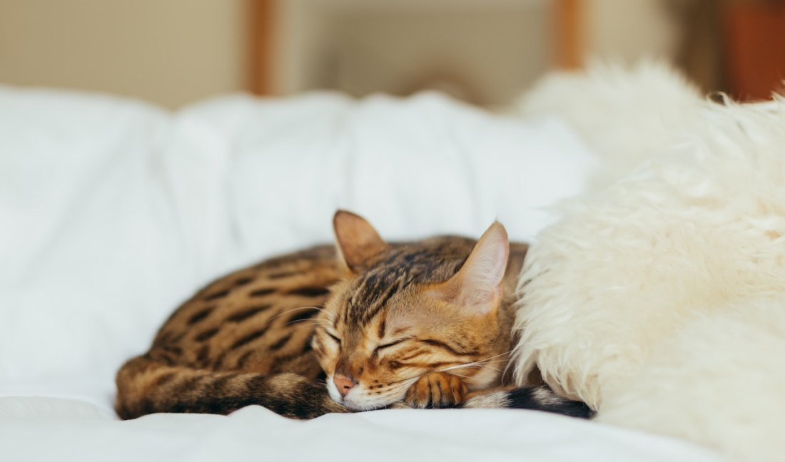 ginger cat napping cozy white background