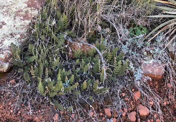 Little desert ferns on Doe Mountain Trail in Sedona, Arizona