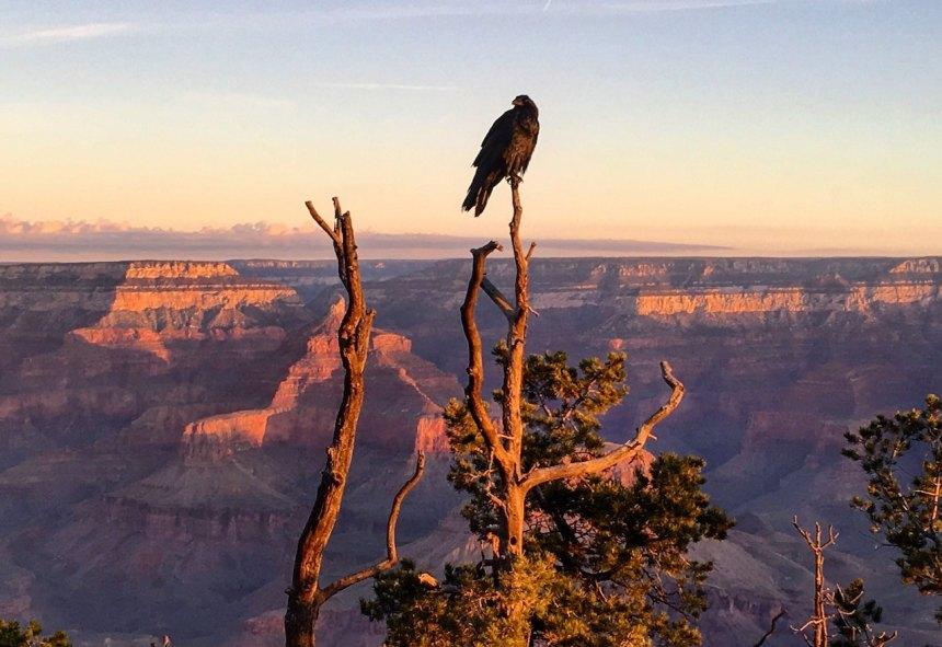 Grand Canyon, raven, vast sky, sunrise