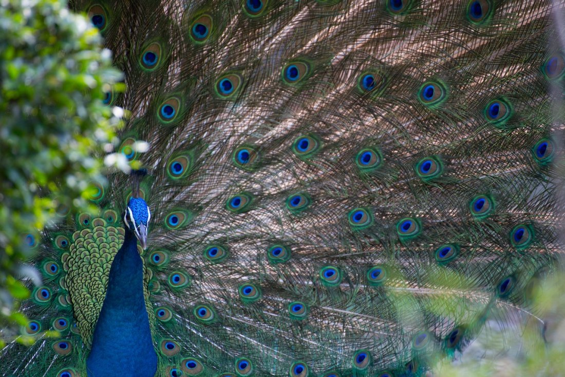 peacock with a thousand eyes