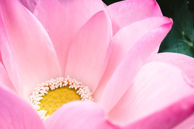 big pink lotus