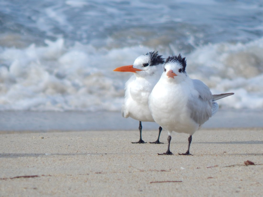 2 sea birds on beach in Carslbad, California