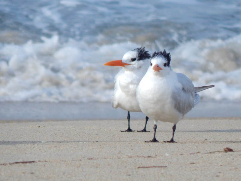 2 sea birds on beach in Carslbad, California