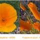 Wildflowers everywhere! Poppies, Bobcat, and Jaguar—my wildflower dreams this spring