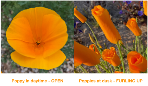 Poppies by day and by dusk