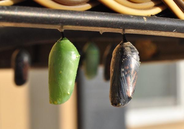 green chrysalis and monarch chrysalis