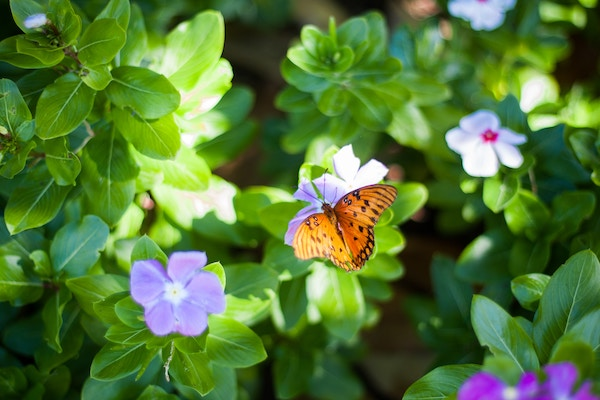 orange butterfly on violets with green leaves