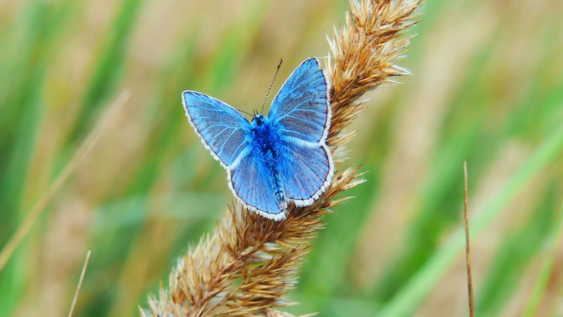 blue butterfly on seed stalk