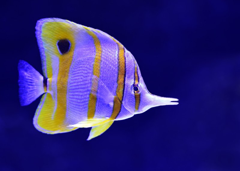 copperband butterfly fish, coral reef, Australia