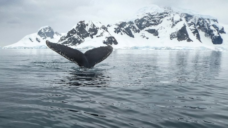whale tale, mountain with ice, deep ocean