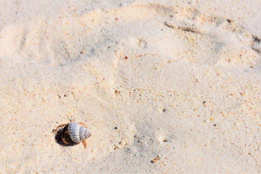 hermit crab on sandy beach