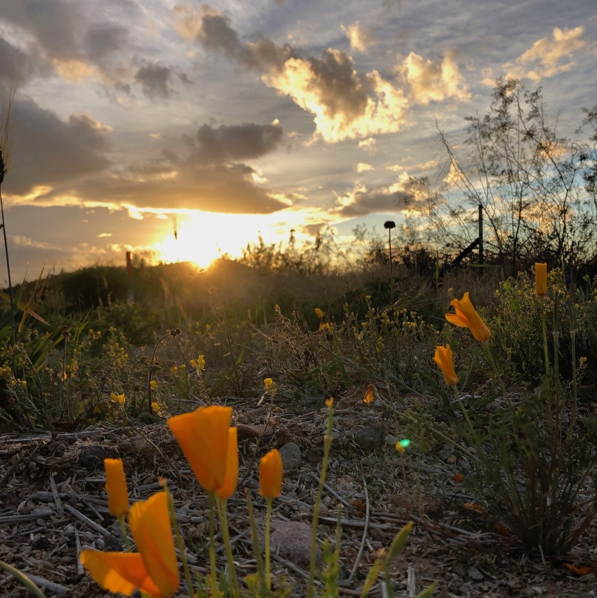 Roadside poppies at sunset, early March