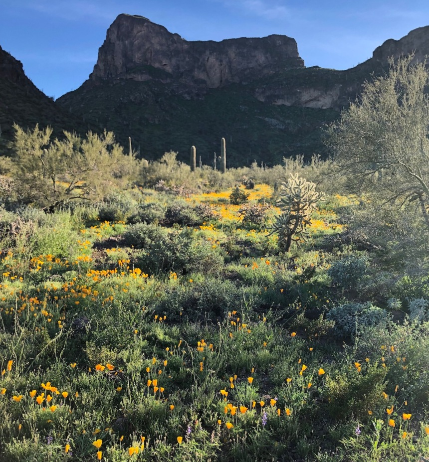 Poppies at Picacho Peak park, Arizona