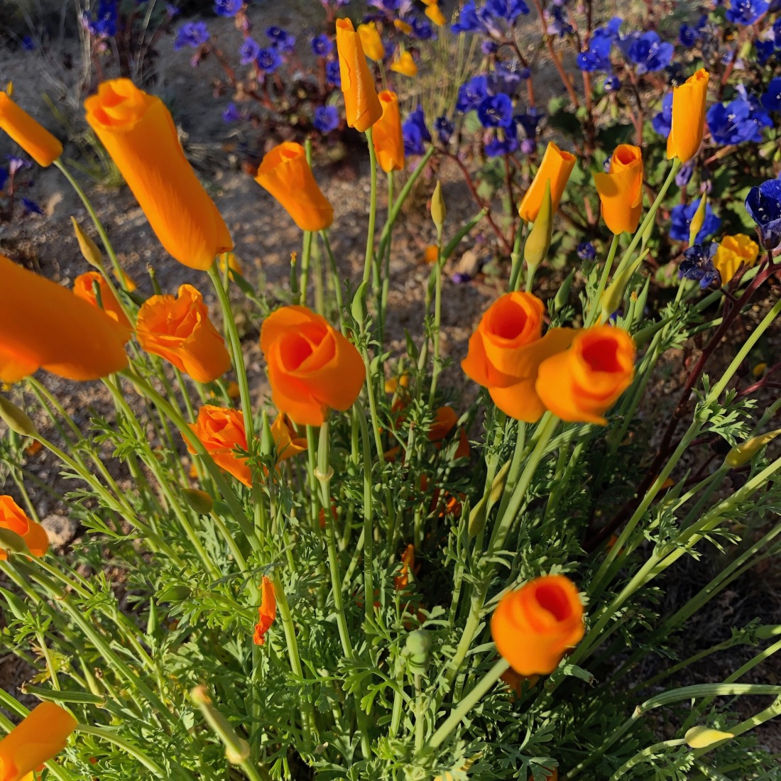 Poppies near sunset, Tangerine Sky Park, Arizona