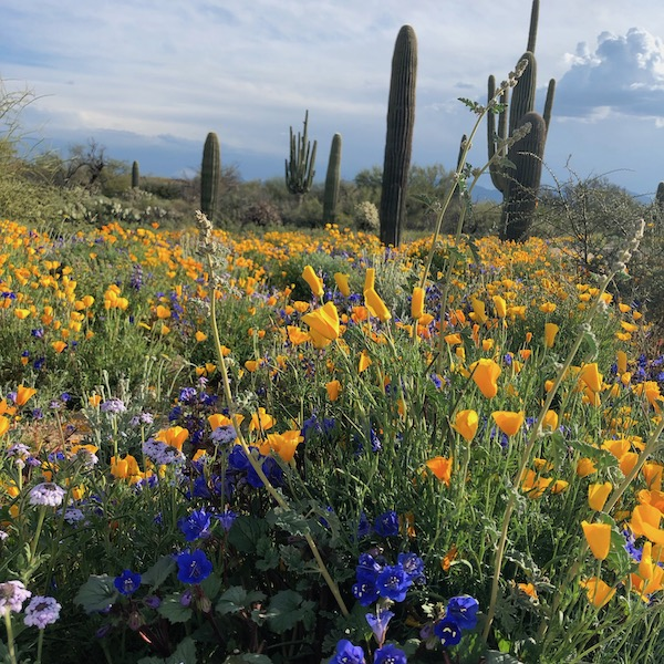 Tangerine Sky park, Marana, Arizona poppies