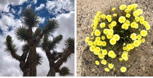 Joshua tree and yellow flowers