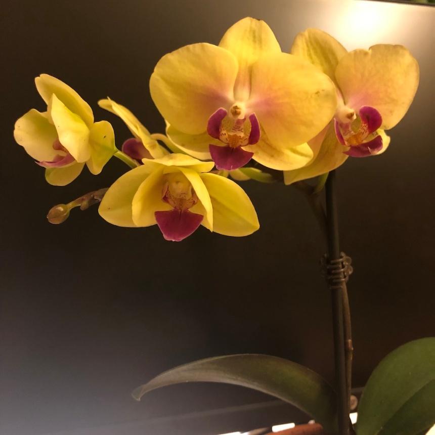 yellow orchid close up
