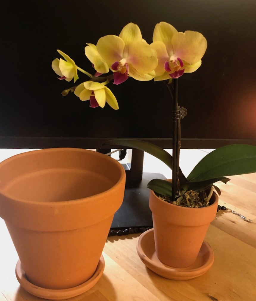yellow orchid in little container