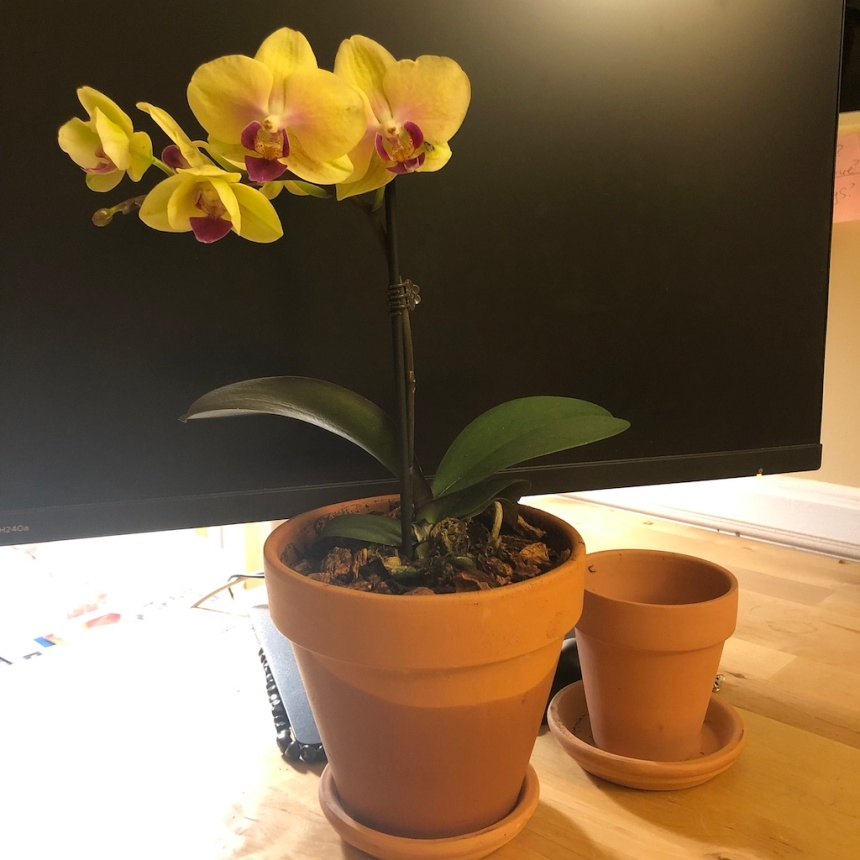 yellow orchid in big container