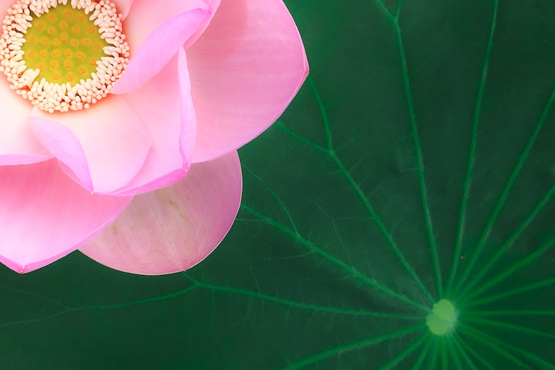 pink lotus and big lotus leaf