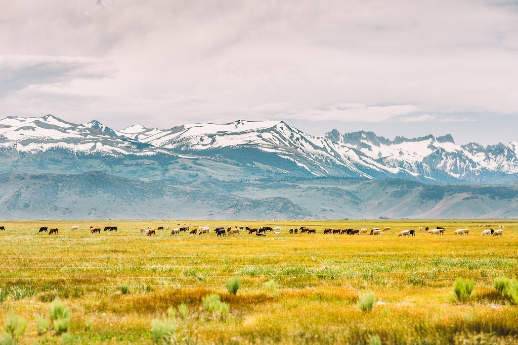 cows and Eastern Sierra snowy mountains