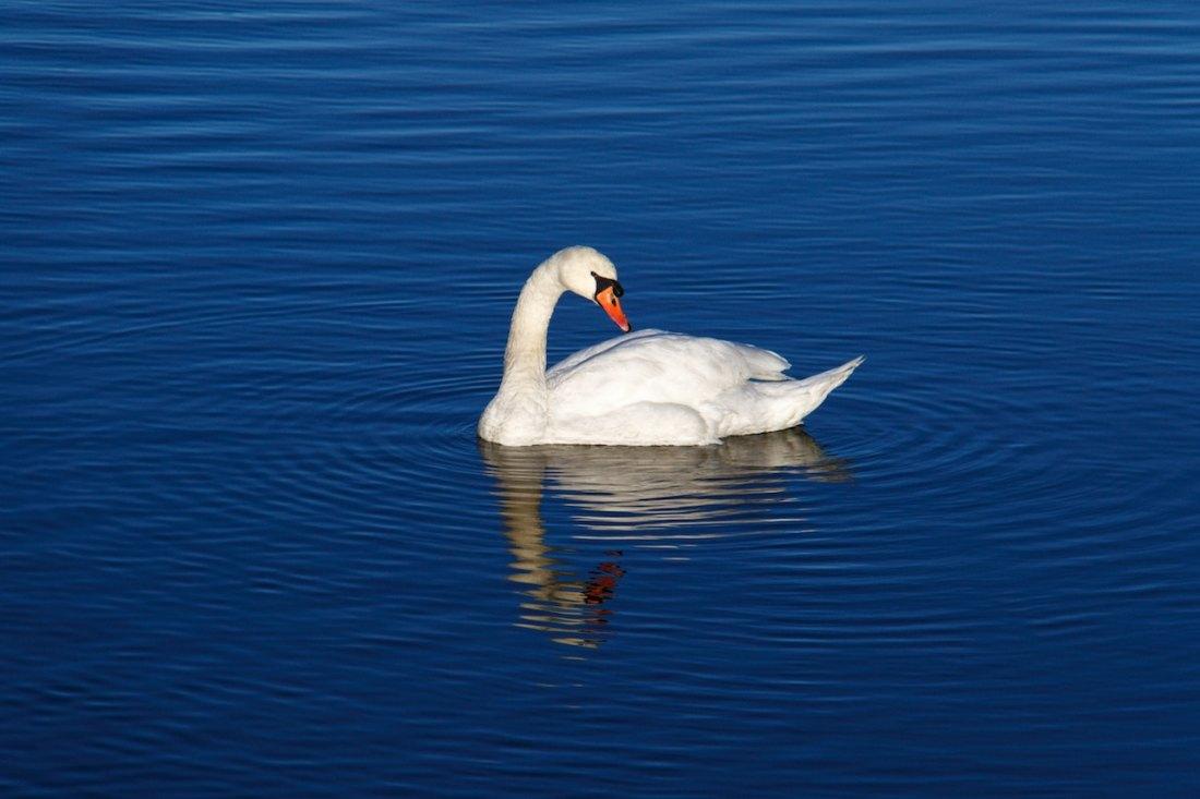 Swan on blue pond