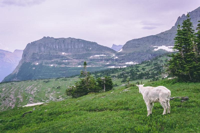 Mountain Goat at Logan Pass, Glacier National Park